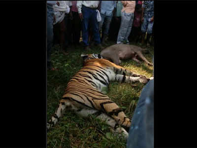 One more radio-collared tigress dies of electrocution in Maharashtra