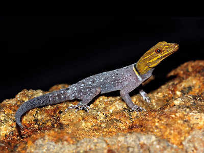 New gecko found from the Western Ghats