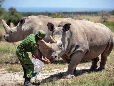 New embryo made of northern white rhino may keep species alive