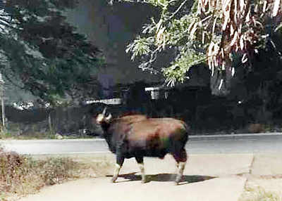 Third gaur sighted in city; forest dept sets up inquiry committee