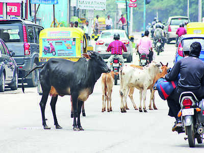 Traffic police to help impound stray cattle