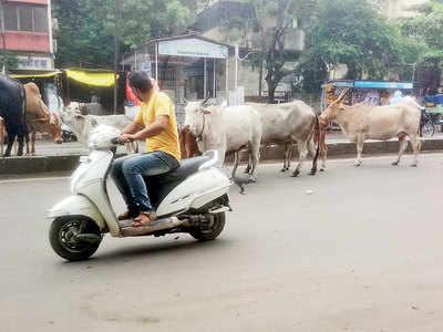 Cattle block traffic on Bibwewadi Road