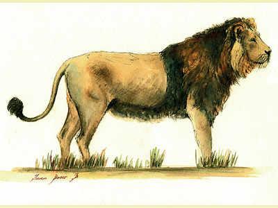 A true king: Watching lions in mango land