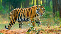India's 2018 tiger census sets Guinness record