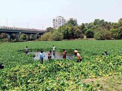 15 students manually clean Mula of hyacinth