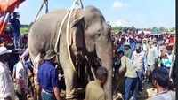 Shocking! Wild elephant that killed 5 people caught in Assam's Goalpara