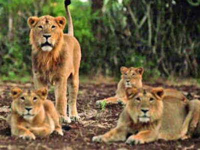 Group of lions kill over 70 goats and sheep in Amreli