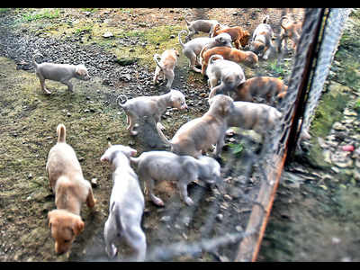24 pups found thrown away at abandoned site in Katraj