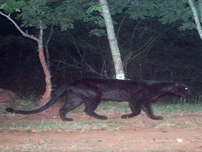 'Bagheera' spotted at MM Hills