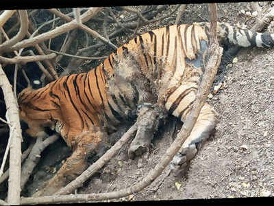 Tiger spotted in Gujarat for 1st time in 30 yrs found dead
