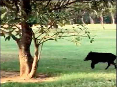 Boar sends Bangalore golf club staffers into a tizzy