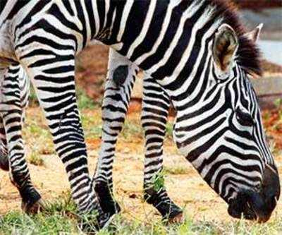 Austrian wins rights to change surname to Zebra
