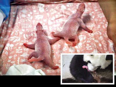 Rare baby panda twins born at Belgian zoo