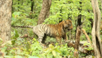 On cam: Two male tigers fight to win tigresses heart at Tadoba National Park