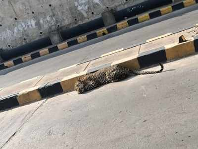 Baby leopard remains untraceable in Hyderabad farmhouse