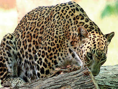 Leopard kills farmer in Chhota Udepur