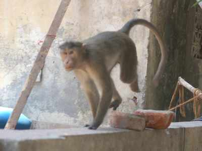 Thane: Two monkeys electrocuted near Wagle bus stop