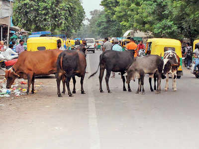 96 cows missing from shelter, AMC to file police plaint
