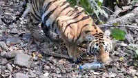 Tiger cub plays with plastic bottle in forest area, video goes viral