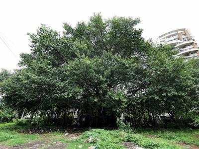 Botanists spot oldest banyan tree in city