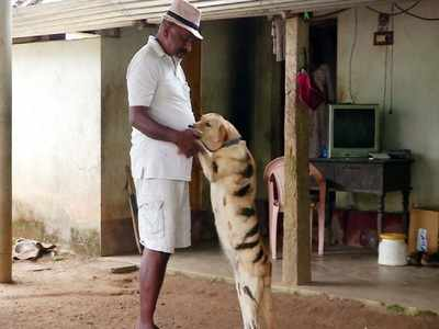 Shivamogga farmer paints his dog as tiger to save crop from menacing monkeys