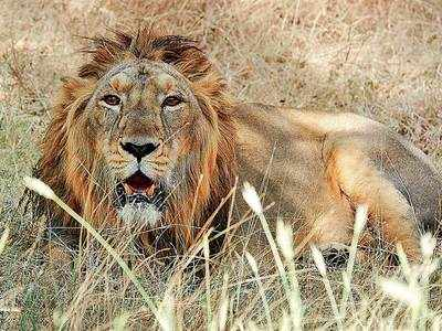 Lions spotted near Chotila, 100 km from Gir sanctuary