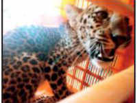 Leopard cub enters hut, fell asleep beside 2 kids