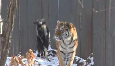 This Tiger Just Became Friends With A Goat That Was Supposed To Be Its Lunch!