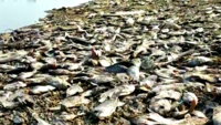 Chennai: Volunteers remove tonnes of dead fish from Tiruneermalai lake