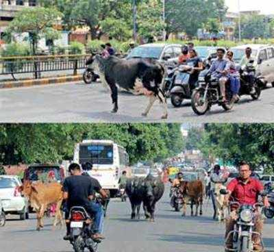 AMC no closer to freeing roads of cows and cattle, as High Court deadline ends