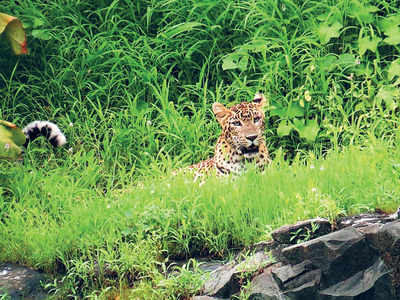 Metro body's 'no wildlife in Aarey' theory falls flat