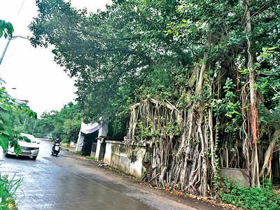 Road-widening work halted over old tree hosting shrine within