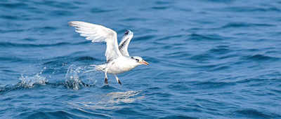 Karnataka: Rare bird spotted on Mangaluru coast