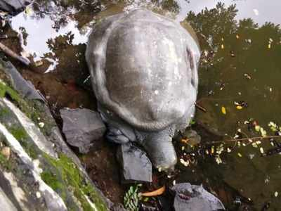 Injured tortoise found in Kachrali Lake in Thane, rescued