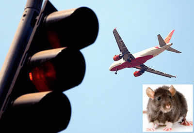 India's latest export to Doha: Rats from Mumbai