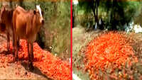 Madhya Pradesh: Farmers dump tomatoes on roads as prices slide