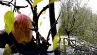 Jammu and Kashmir: Apple orchards damaged due to heavy snowfall in Pulwama