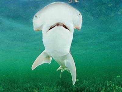 'First known omnivorous shark species identified'