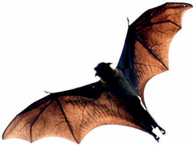 Bats are Bengaluru's enemy No. 1 now
