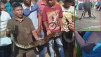 12-foot-long python rescued in Odisha's Rayagada