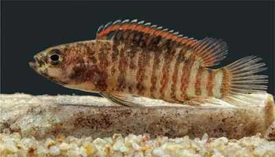 Badis britzi, spiny rayed fish discovered by team of scientists in Western Ghats