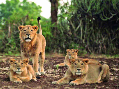 After lioness, 12-year-old lion falls prey to COVID-19 in Chennai zoo