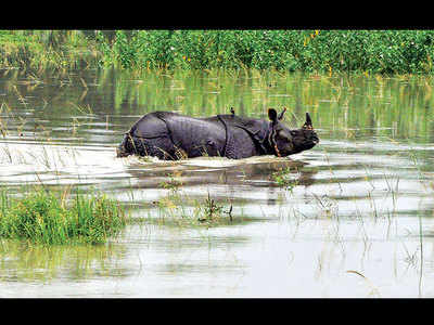 70% of Kaziranga submerged, animals shifted