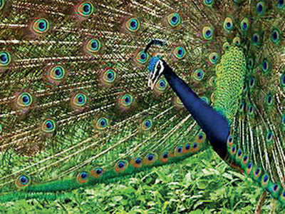 PLAN AHEAD: Take pictures of peacocks