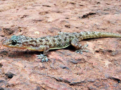 Now, a new gecko from the hills of Amboli