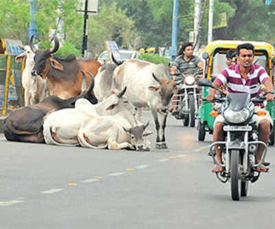 Culpable homicide case filed against cattle owners