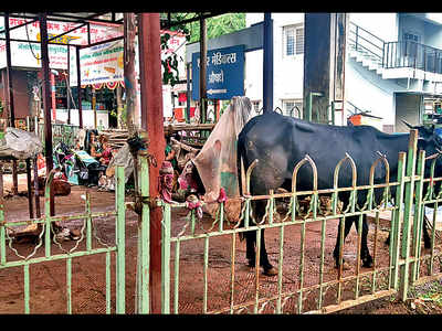 Cattle shed at Nanasaheb samadhi