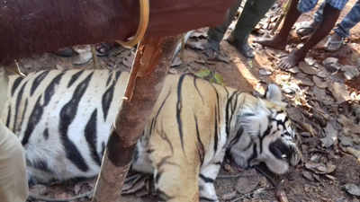 West Bengal: Post-mortem report reveals multiple fractures, spear injuries on Lalgarh's Royal Bengal tiger