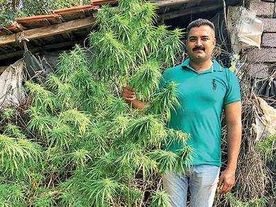 A ganja problem that is 7-ft 'high'