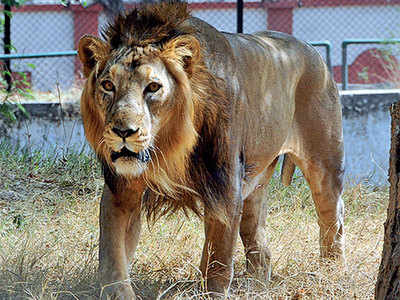 5 months on, lions to be free